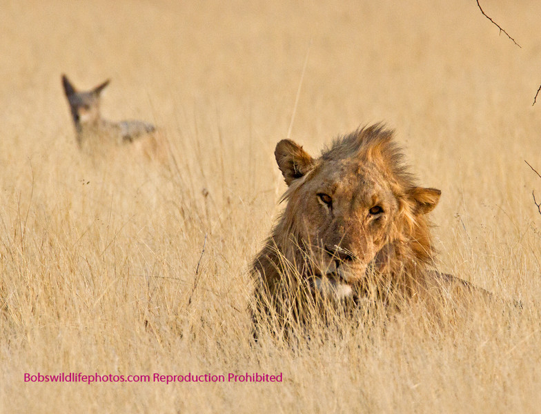 This guy is resting near a Giraffe kill in Etosha. The Jackal is waiting his turn.