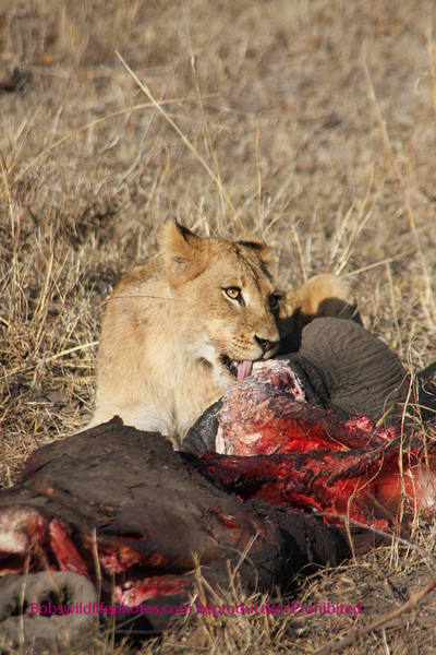 This young male lion (about 18months) is making a meal out of an elephant foot. The elephant was quite large and died of natural causes. It would be very rare (if not virtually impossible) for this pride without a large male in evidence, (probably out marking his territory) to bring down an elephant of this size.