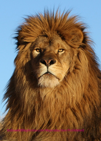 This photo of a Barbary Lion was taken in Monument Valley.