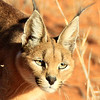 Close up of a Caracal in the Kagalagadi Trans frontier park in South Africa. An interesting fact, while the cat is in South Africa, our vehicle was in Botswana. If you travel north from Twee Rivieren you go in and out of these two countries several times, before you get to Nossob.