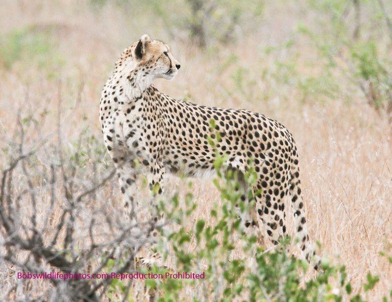 This cat is using a small termite mound to gain elevation. We noticed that they keep a 360 degree watch. Looking for both prey and predators. They are often attacked by larger cats. They also sometimes loose their meals to lions and Hyena.