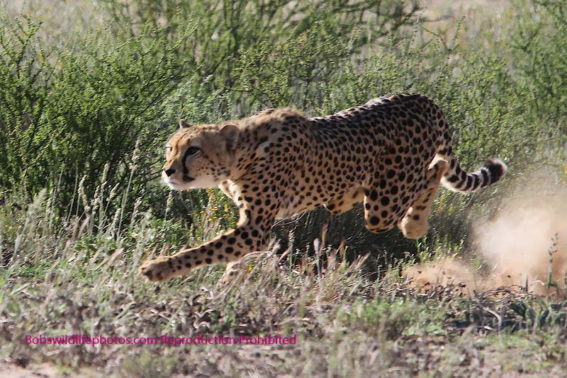 This cheetah has just started a charge after a springbok. While unsuccessful it was awesome to watch. The photo is most likely not suitable for framing.