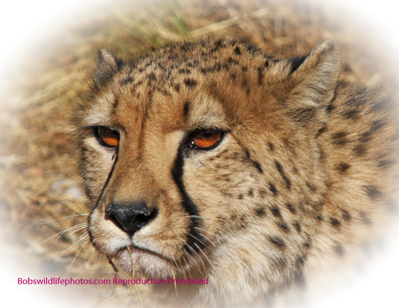 """""""A"""" This photo taken of a Cheetah at Amani has had blur added for effect the photo without blur is farther down in the gallery."""