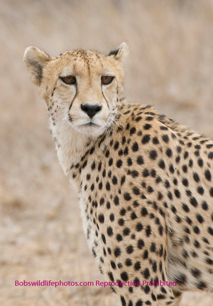 This cheetah has just crossed the road about 30 ft. in fromt of our vehicle and then looked back at us. The eyes tell it all.