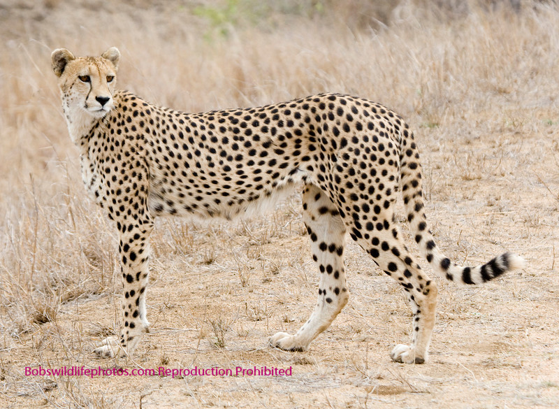 Full body shot of cheetah looking to the rear