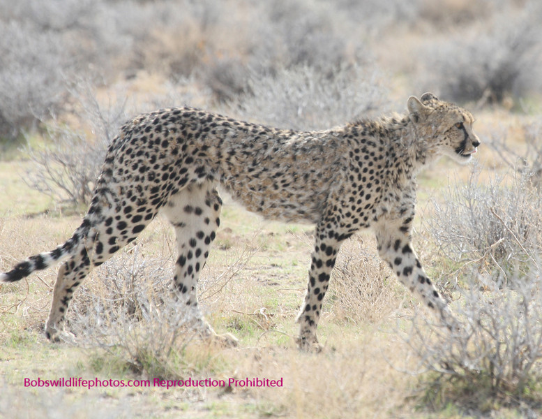 """""""E"""" This cat was photographed in the Etosha Park, Namibia. It walked parallel to the road for about a half hour or more. Unfortunately we had to stop shooting to begin our drive to the airport 6 hours away."""