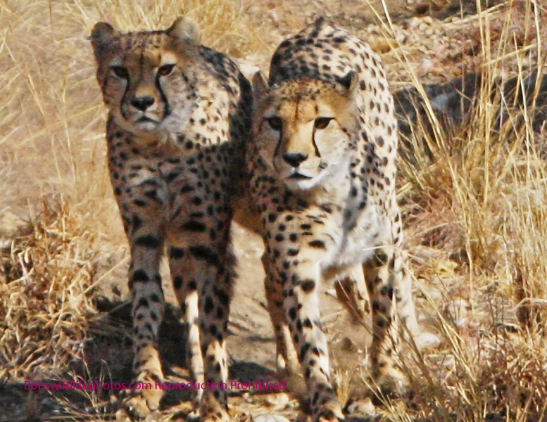 """""""A"""" Two brothers? The group at Amani is made up of two sets of brothers one of 2 and one of 3. The intent is to relaease them all back into the true wild shortly."""