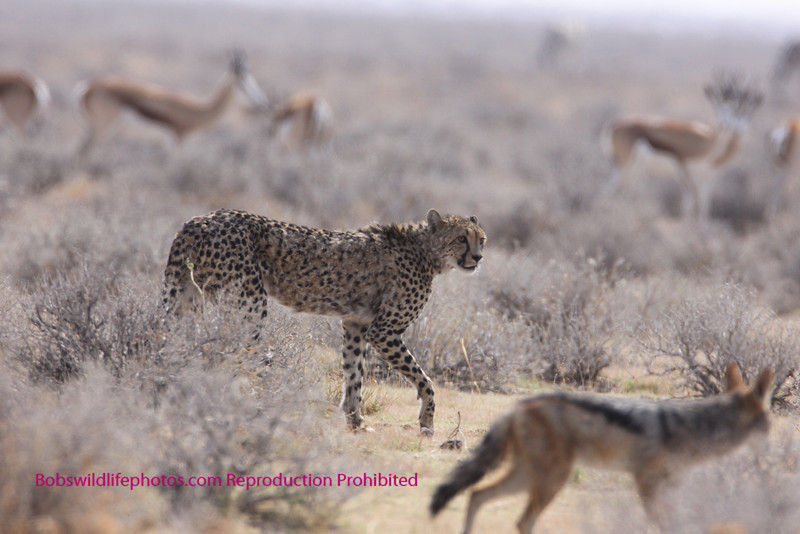 How's this for a crowded shot. Springbok in the background and a Jakal in the foreground. Wonder why the Jakal is following the Cheetah? Is it lunch yet?