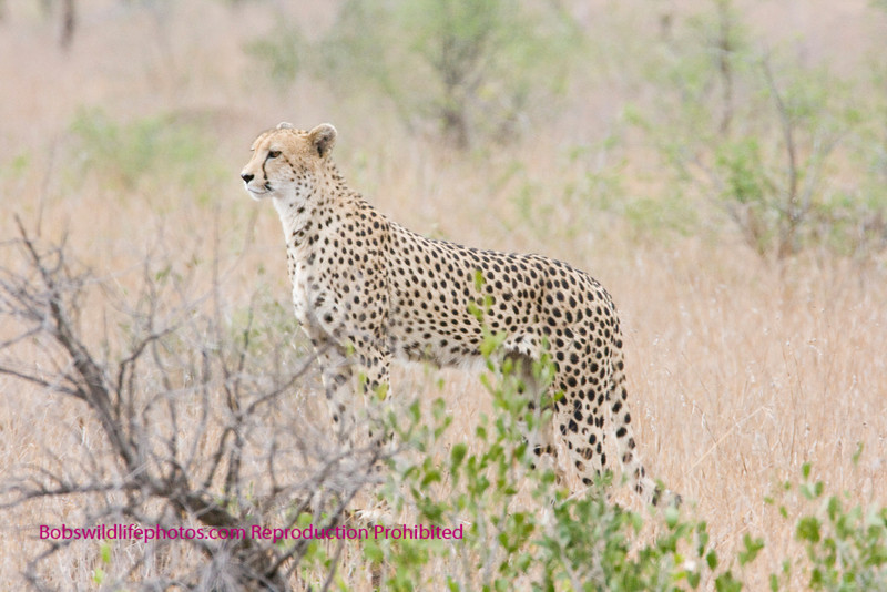 This photo was taken at about 100 yards, as the cat moved toward the road. His front paws are on a small termite mound.