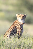 This cheetah is part of a study. We were told the collars will come off at the end of the year.