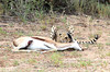 In this photo the springbok is still very much alive, and other then the leg wound is not in bad shape. The leg wound occurred during the take down. The cat is currently holding the springbok while it catches its breath.
