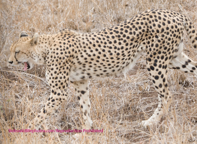 In this photo you can see some of the teeth. They are no where near the size of his cousins. Limiting the size of prey to mostly the smaller antelope and the young of the larger breeds, as well as birds up to young ostrich.