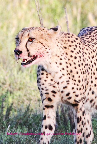 Another shot of the cheetah near two rivers.