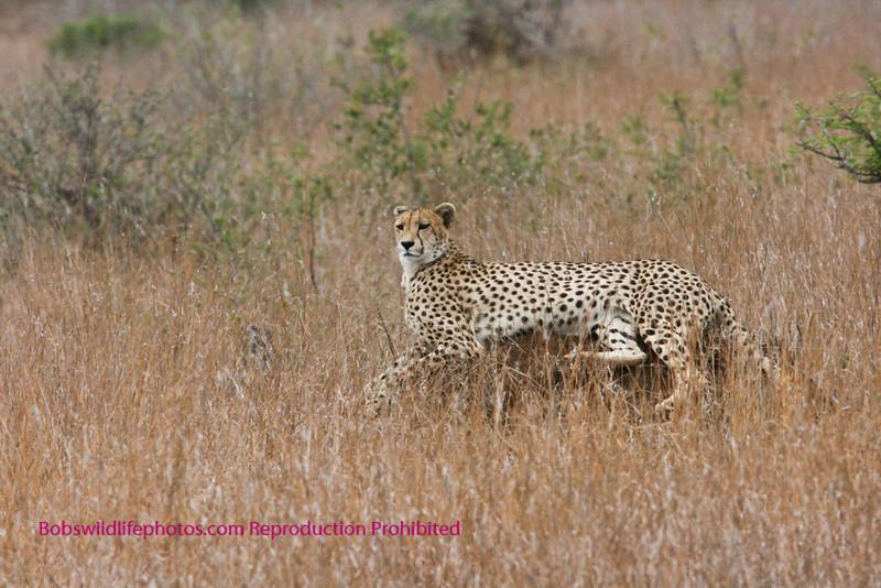 Cheetah on termite mound.