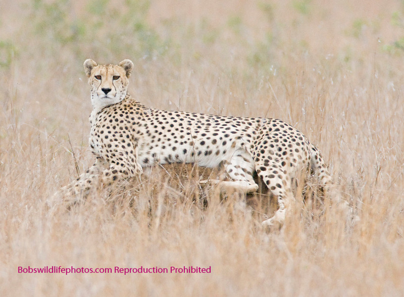 Cheetah on termite mound taken with 600mm lens. It brings them in close.