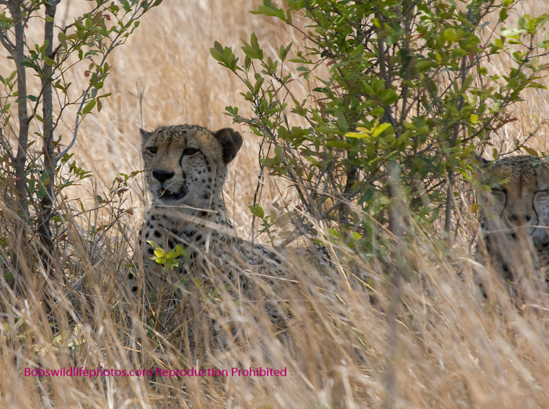 These two cheetahs, proably brothers were taken near Lower Sabi. The entire time we were there they never got up. The sky was overcast. Note one is allert and the second is taking a snooze.
