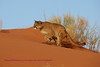 Cougar running in the sand