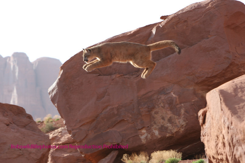 Young cougar Leister in mid air