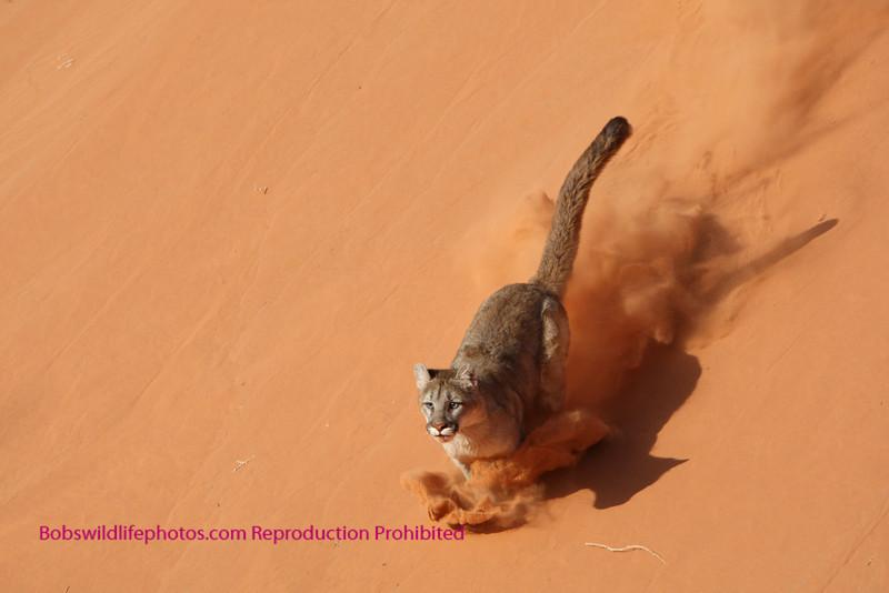 cougar running in sand at salt springs.