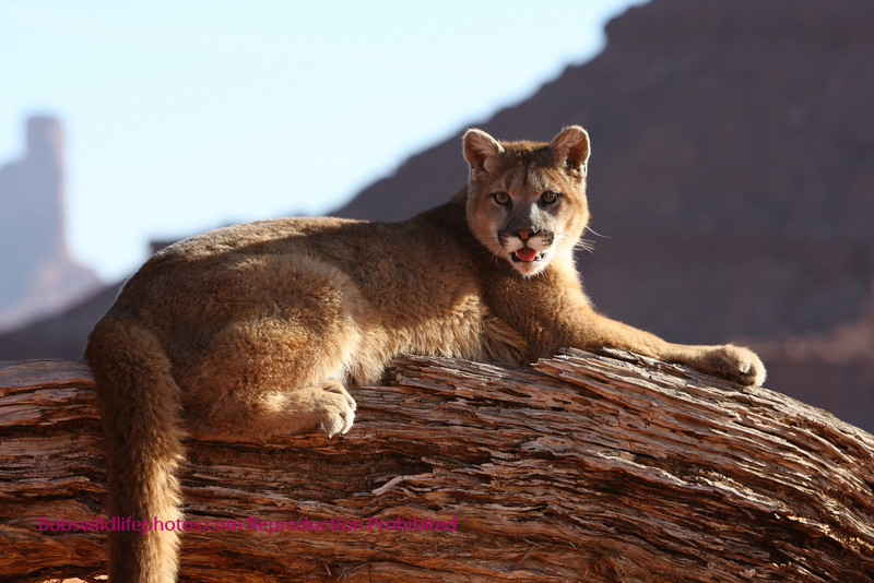 Young cougar on log