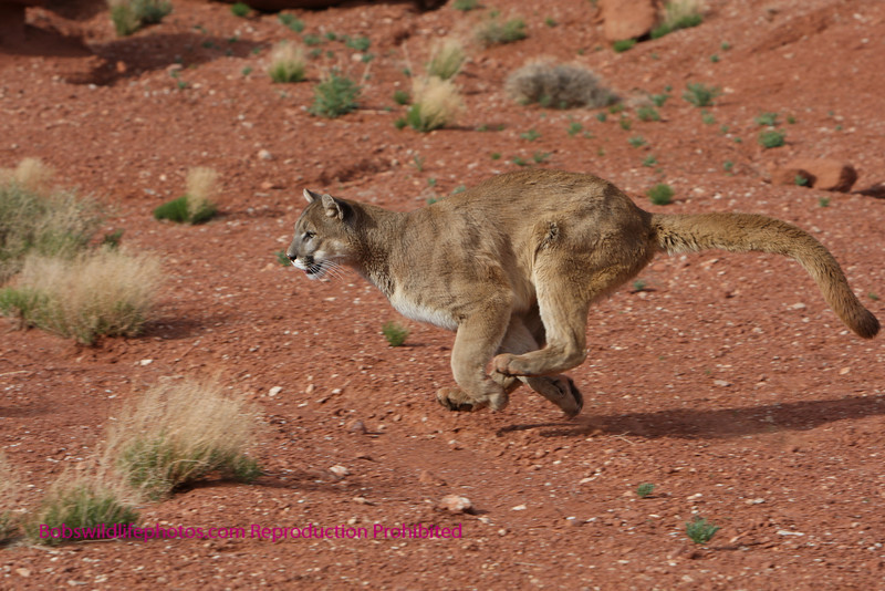 cougar running with all four feet in the air.