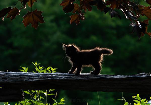 Backlit Kitten