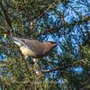 Cedar Waxwings 11 Dec 2017-5791