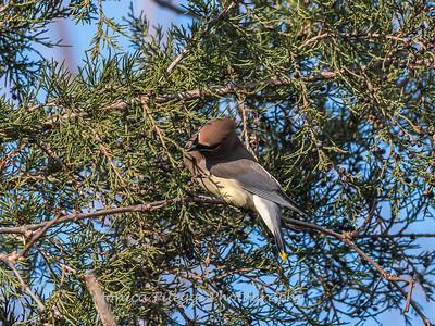 Cedar Waxwings 11 Dec 2017-5779