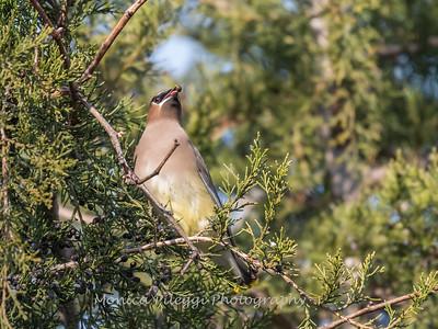 Cedar Waxwings 11 Dec 2017-5810