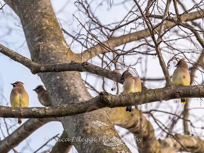 Cedar Waxwings 11 Dec 2017-5866