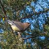 Cedar Waxwings 11 Dec 2017-5792