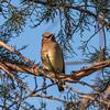 Cedar Waxwings 11 Dec 2017-5766