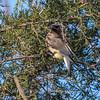 Cedar Waxwings 11 Dec 2017-5782