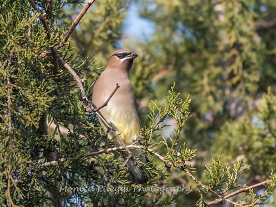 Cedar Waxwings 11 Dec 2017-5818