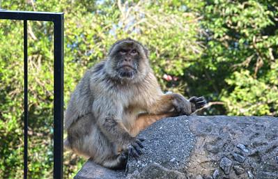 Gibraltar ..... Barbary Macaque