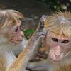 Sri Lanka ..... Toque Macaques