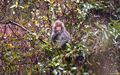 Taiwan ..... Formosan Rock Macaque