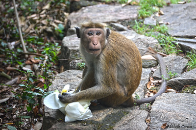 Sri Lanka ..... Toque Macaque