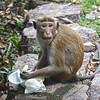 Sri Lanka ..... Toque Macaque