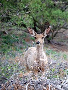 New Mexico ..... Mule Deer (female)