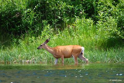 Utah ..... Mule Deer (female) Wading in the Green River
