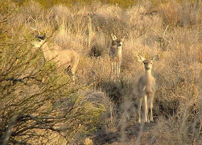 Texas ..... Mule Deer