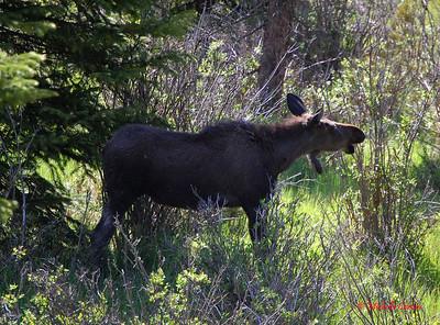 Colorado ..... Moose (female)