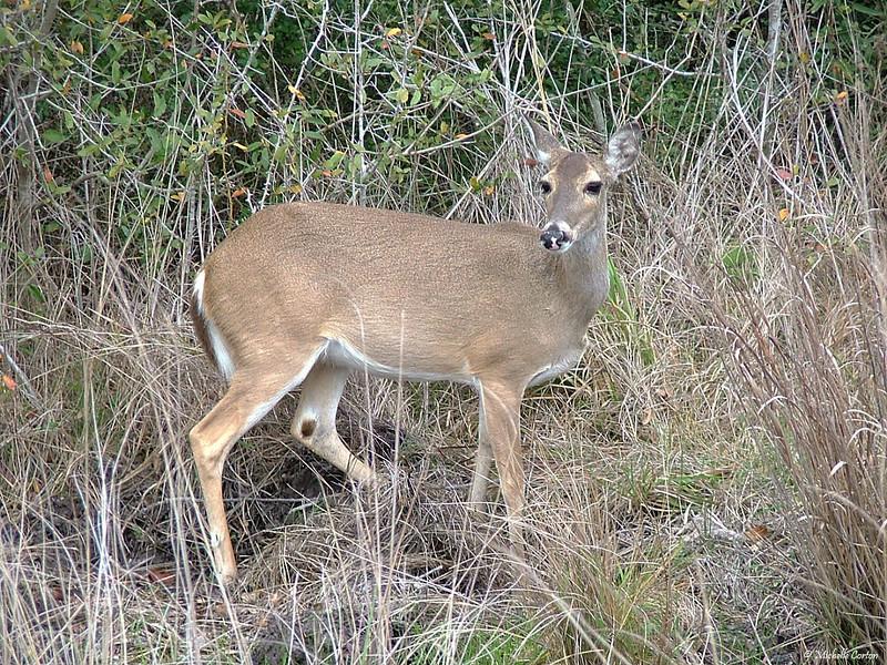 Texas ..... White-tailed Deer (female)