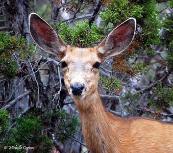 Utah ..... Mule Deer (female)
