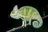 Veiled chameleon, Chamaeleo calyptratus, male
