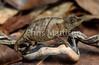 West African leaf chameleon, Rhampholeon spectrum, Cameroon