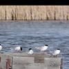 Visiting Terns