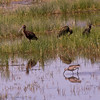 Willet with Ibis