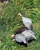 CMZ guinea fowl 2796 al sh100